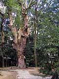生田神社の巨木.jpg